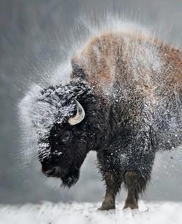 Like Snow Off A Bison's Back