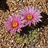 Echinocereus pulchellus ssp. weinbergii (l.e.violett) Tags: cactus flower cultivated echinocereus pulchellus sspweinbergii