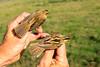 Waterrietzanger - Phragmite aquatique (Marc Nollet) Tags: vogelfotografie vogel vogels ringen ringwerk antoine bird birds birdwatcher birding birdringing nollet eendekooi lissewege