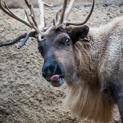 DSC_7483 (craigchaddock) Tags: rangifertarandus reindeer sandiegozoo siberiantundrareindeer rangifertarandussibiricus
