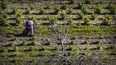 La huerta (Ignacio M. Jiménez) Tags: huerta orchard proyecto200desconocidos gente people verde green ubeda jaen andalucia andalusia españa spain ignaciomjiménez