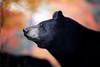 Keeping Watch (Megan Lorenz) Tags: blackbear bear sow female animal mammal animalsinthewild nature wildanimals wildlife wild ontario canada fall autumn autumncolors mlorenz meganlorenz specanimal