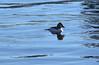 GoldenEye_4480 (johnmoffatt2000) Tags: duck goldeneye lake washington water swimming blue golden eye