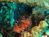 Lionfish (Lerotic) Tags: lionfish uw underwater egypt redsea scuba diving