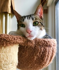 (AndyS03) Tags: cat cats pet pets animal iphone iphone7 iphone7plus cute aww face catseyes tabbycat