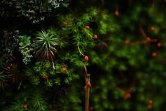 Kara Yosunu (halukderinöz) Tags: kara yosun funaria hygrometrica moss capsule kapsül bitki plant canoneos40d eos40d hd