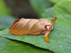 Mahanta leworthyi, Limaciodidae (Green Baron Pro) Tags: 200902 malaysia moth frasershill jelai limacodidae