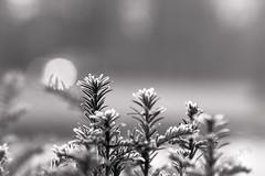Winterscene at sunrise - 2016 (Wilma v H - thanks so much for lovely feedback! Ru) Tags: begraafplaatsdeessenhof winter winterscenics closeups frost frozen sunrise vriezen monochrome blackandwhite bokeh closeup plants backlight dordrecht nederland netherlands canoneos60d