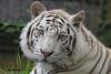 White Tiger (Noodles Photo) Tags: whitebengaltiger pantheratigristigris bengalischertiger weisertiger whitetiger carnivora groskatze zoodelaflèche france cat königstiger royaltiger portrait animaladdiction tiger säugetier canoneos7d ef100400mmf4556lisusm