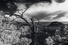 On the trail to Bright Angel Point (Toucaly) Tags: ifttt 500px united states amérique du nord arbre contorsionné arizona az black white bright angel point trail canyon ciel contorted tree ensoleillé etatsunis eté fin daprès midi grand national park hilly landscape late afternoon noir blanc north america rim orageux paysage valloné sky stormy summer sunny us