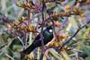 Tui (AquilaKhi) Tags: tui bird new zealand wellington flax flaxseed