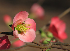 flowering quince - this week (Vicki's Nature) Tags: floweringquince blossoms flowers pink touchofyellow dof bokeh january winter yard georgia vickisnature canon s5 3988 thorns pollen returnnc