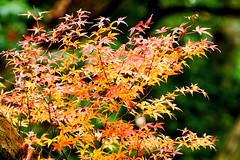 Autumn+Leaves+of+Maple+%3A+%E5%B1%B1%E3%82%82%E3%81%BF%E3%81%98%E3%81%AE%E7%B4%85%E8%91%89