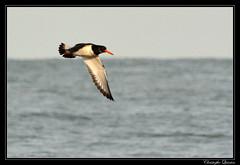 Huîtrier pier (Haematopus ostralegus) (cquintin) Tags: chordata vertebrata aves charadriiformes haematopodidae haematopus ostralegus huitrier pie