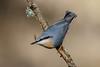 _F0A8428.jpg (Kico Lopez) Tags: galicia lugo miño sittaeuropaea spain trepadorazul aves birds rio