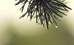Seven minutes after the rain (akigabo) Tags: montreal nature autumn plant tree pine spruce wet rain fall drops water life canon eos rebel dsrl composition t5i 700d 250mm light depthoffield dof green needles reflection mirror weather country sunset abstract macro garden akigabo