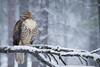 New Years Day (Jon David Nelson) Tags: redtailedhawk buteojamaicensis hawks raptors birdsofprey education conservation highdesert oregon centraloregon