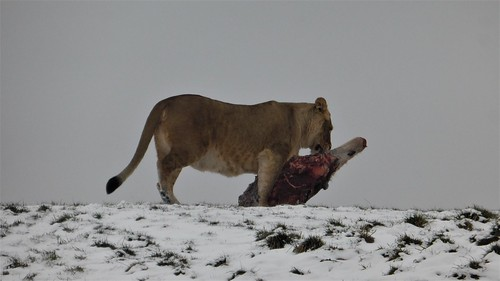 Lions having a meal, Wildlands Emmen