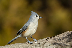 Tufted Titmouse  -  Mesange bicolore (sfdonald) Tags: titmouse tuftedtitmouse portrait winter ontario bird cutest mesangebicolore