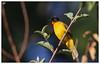 Flame-Throated Bulbul (girish.vignesh) Tags: birds yellow perch bulbul flame flamethroatedbulbul throat redthroat nature green muroor kumta westernghats canon sigma150600mm canon600d