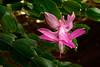 Christmas Cactus (s andrews) Tags: schlumbergera cactus flower pink closeup macro tamron90mm28