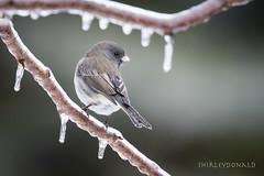 A Hard Life (sfdonald) Tags: ice icestorm sparrow winter darkeyedjunco juncoardoise survival hardlife icecovered ontario bird