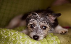 IMG_4438 (adcolston) Tags: canon 6d ef 50mm f14 dog pet flash indoor