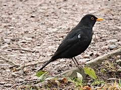 Blackbird (deannewildsmith) Tags: earthnaturelife blackbird