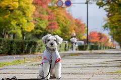秋の運動公園 (photojiro) Tags: xc50230mmf4567oisⅱ fujifilmxpro2 fujifilm fujinon lr テオ 曇り 秋 長野運動公園 10月 紅葉 東向き