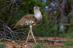 Kori Bustard (leendert3) Tags: koribustard krugernationalpark southafrica bird wildlife nature ngc npc sunrays5 coth5 leonmolenaar