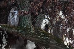 Great Horned Owls of NJ | 2017 - 1 (RGL_Photography) Tags: birdwatching birding birds birdsofprey bubovirginianus familystrigidae greathornedowl newjersey nikonafs600mmf4gedvr nikond500 ornithology owl raptor strigiformes us unitedstates wildlife wildlifephotography
