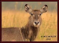 COMMON WATERBUCK (Kobus ellipsiprymus)......NAIROBI NAT.PARK......SEPT 2015 (M Z Malik) Tags: nikon d800e 400mmf28gedvr kenya africa safari wildlife nairobinatpark exoticafricanwildlife ngc npc