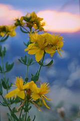 Yellow Wildflower (RobMacPhotography) Tags: canberra act australia wildflower yellow mountainside mt arawang flower flora outdoors rob mac photography sony a6000 spring summer