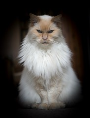 Charlie (GinelliGino) Tags: fur regal majestic lion kitty ragdoll cat