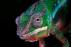 Pascal stylized (Jen St. Louis) Tags: ontario canada animal blackbackground studio reptile elmira lizard pascal chameleon pawprints petportrait petportraits petphotography pantherchameleon jenstlouis topazglow wwwpawprintsphotosca
