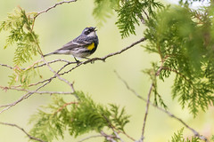 Yellow-rumped Myrtle Warbler (jasonhedlund) Tags: travel camping summer vacation lake jason nature water minnesota birds animal animals june forest spring nikon zoom outdoor wildlife north birding lakes may 15 canoe telephoto backpacking wilderness nikkor portage 70300mm paddling arrowhead mn boundarywaters warbler bwca hedlund 70300 bwcaw 2015 d610 boundarywaterscanoearea boundarywaterscanoeareawilderness myrtlewarbler 70300mmf4556gvr yellowrumpedmyrtlewarbler nikon70300mmf4556gvr littlecariboulake nikkor70300mmf4556gvr jasonhedlund nikond610