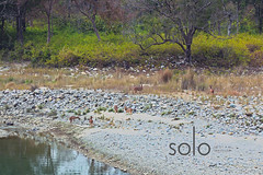 Access to Water (Anubhav Kochhar) Tags: trees india nature water beautiful animals forest river stream stones side deer safari jungle chital tigerreserve ramganga jimcorbettnationalpark canoneos60d corbettreserve