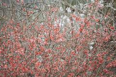 Durazno en Flor (Claudio Baltanares Concha) Tags: flores durazno maule tabunco