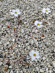 Arenaria kingii var. glabrescens, KING'S SANDWORT (openspacer) Tags: yosemite yosemitenationalpark sandwort arenaria caryophyllaceae