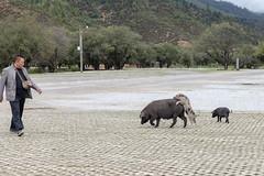 upps :) (:: Blende 22 ::) Tags: china pig entrance unescoworldheritage naturalreserve canoneos5dmarkii pudacuonationalpark shangrilacounty ef2470f28liiusm