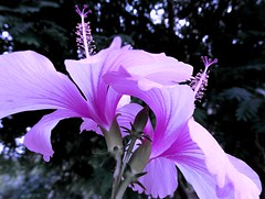 Hibiscus in majestic shades of violet (The Gypsy Trail) Tags: light petals violet hibiscus buds nikkon bokkeh