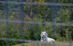 National Tiger Sanctuary (Adventurer Dustin Holmes) Tags: tiger bigcat missouri bigcats whitetiger whitetigers 2015 nationaltigersanctuary bransonarea springfieldarea