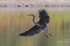 Great Blue Heron landing sequence - 4 of 7