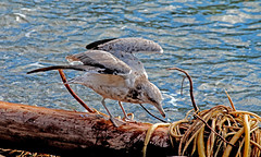 seagull looking for food (joybidge) Tags: seagulls seascapes gull gulls victoriabc dallasroad naturepatternscanada trishcanada