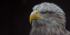 Sea eagle - Seeadler (pe_ha45) Tags: adler raptor falconry falknerei seaeagle greifvogel whitetailedeagle seeadler haliaeetusalbicilla pigargoeuropeo grandaigledemer schlosaugustusburg aiglebarbu pyargueàqueueblanche