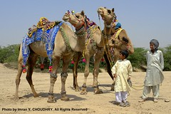 Traditional decorated Camels in Pakistan- Imran Y. CHOUDHRY