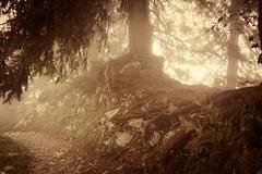 Bewitched Tree (oliko2) Tags: wood autumn mountain tree nature forest switzerland path walk trail bewitched rochersdenaye nikond7100