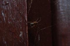 Unidentified Spinning Object. (Procrustes2007) Tags: uk england spider suffolk britain wildlife arachnid flash nikond50 sudbury closeuplens wildlifephotography afsnikkor1855eddx gridreftl883407 linyphiidaesp d50nightspiders