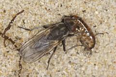 Really common, really fast shore fly (zosterops) Tags: macro australia tasmania bridport diptera insecta kenkoextensiontubes canoneos6d canonmacrolensef100mm