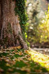 [Fall by Mon-Repos] November 2015-10 (#vmivelaz) Tags: city fall automne canon season schweiz switzerland europe suisse vinz lausanne parc lightroom vaud 200mm parcmonrepos canoneos5dmarkiii vincentmivelaz vmivelaz wwwvincentmivelazcom